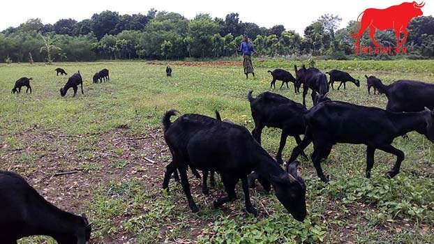 Goats (Balck Bengal Goats) For Qurbani And How They Move Lives in Bangladesh