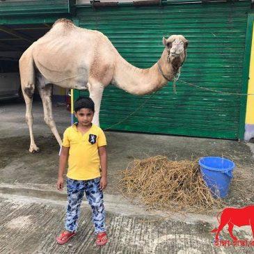 Camel History – Characteristics & Price in Bangladesh