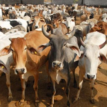 How to Import Animals or Cattle to Bangladesh